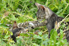 Striped kittens Stock Photography
