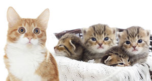 Striped kittens Royalty Free Stock Photo