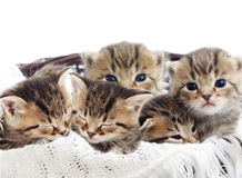 Striped kittens in a basket Royalty Free Stock Images