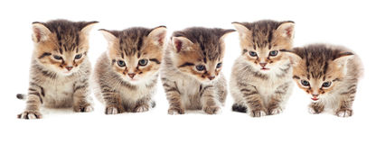 Striped kittens Stock Images