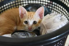 Striped kittens lying in a basket wearing a plastic shirt, black cloth royalty free stock photography