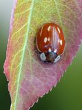 Striped Ladybird Stock Photo