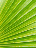 Striped Leaf of Fan Palm Tree Royalty Free Stock Images