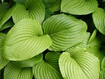 Striped leafs. Big ridged striped leafs, nice texture Stock Photos