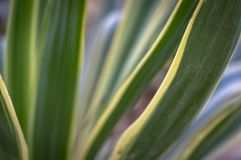 Striped leaves Yucca gloriosa in the natural light of the garden. A succession of green, white, yellow stripes stock images
