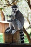 Striped lemur. Eats fruit. The Jerusalem Biblical Zoo. Israel Stock Image