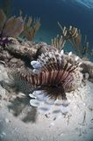 Striped lionfish Stock Image