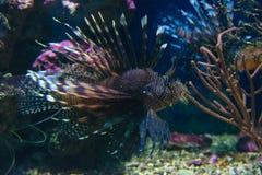 Striped lionfish Royalty Free Stock Image
