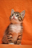 Striped little kitten Royalty Free Stock Photo