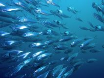 Striped Mackerel Stock Photography