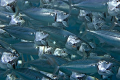 Striped mackerel (rastrelliger kanagurta) Stock Image