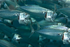 Striped mackerel (rastrelliger kanagurta). Taken in Middle Garden Stock Photography