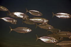 Striped mackerel (rastrelliger kanagurta) Stock Image