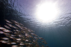 Striped mackerel (rastrelliger kanagurta) in the Red Sea. Stock Images