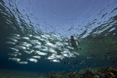 Striped mackerel and snorkler Royalty Free Stock Image