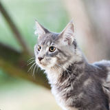 Striped maine coon cat in nature Royalty Free Stock Photos