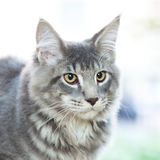 Striped maine coon cat in nature Stock Images