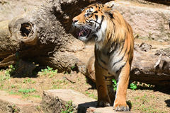 A striped male tiger roaring showing its tusks. Empty copy space. For Editor`s text royalty free stock photo