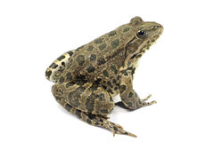 Striped marsh frog with brown spots Stock Photo