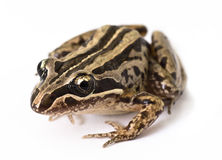 Striped Marsh Frog (Limnodynastes peroni). Closeup shot of a striped marsh frog (also known as brown frog, brown-striped frog, night frog, Peron's marsh frog Royalty Free Stock Photo