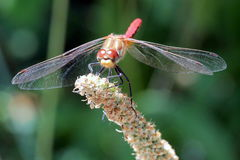 Striped Meadowhawk Dragonfly Stock Photography