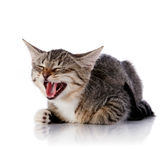 Striped mewing cat. Royalty Free Stock Photos