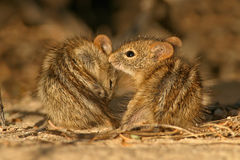 Striped mice Royalty Free Stock Photo