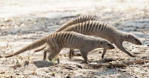 Striped mongoose stock images