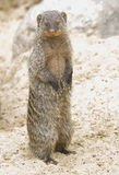 Striped mongoose (Banded mongoose) Stock Image