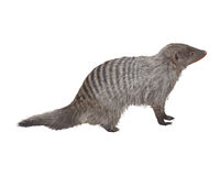 Free Striped Mongoose. Realistic Detailed Illustration Stock Images - 79873314