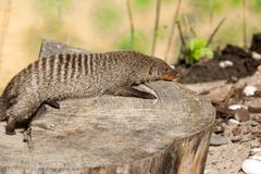 The striped mongoose rests on a stump in Ruaha National Park ,Iringa,Tansania Royalty Free Stock Photo