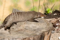 The striped mongoose rests on a stump in Ruaha National Park ,Iringa,Tansania Stock Photography