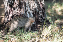 A striped mongoose is standing on a green grass near a tree Royalty Free Stock Photos