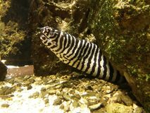 Striped moray. In the Budapest Zoo, Hungary Royalty Free Stock Photo