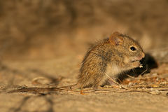Striped mouse. A young striped grass mouse (Rhabdomys pumilio) feeding in desert environment royalty free stock images