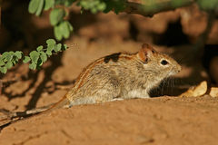 Striped mouse. A striped mouse (Rhabdomys pumilio) feeding in desert environment, South Africa stock photos