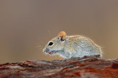 Striped mouse Royalty Free Stock Photo