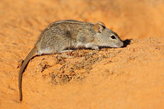 Striped mouse Stock Photography
