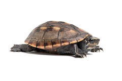 Striped Mud Turtle (Kinosternon Baurii). Striped Mud Turtle on a white background Stock Photos
