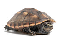 Striped Mud Turtle (Kinosternon Baurii). Striped Mud Turtle on a white background Stock Image