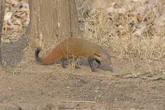 Striped Necked Mongoose in the Forest Stock Image