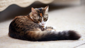 Striped not purebred kitten. Stock Images