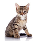 Striped not purebred kitten. Royalty Free Stock Photography