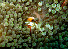 Striped orange clownfish hiding in bubble anemone. Shy small orange and white-striped clownfish (anemone fish) hiding in a green bubble anemone; Great Barrier stock photography