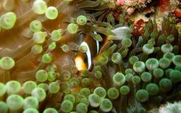 Striped orange clownfish hiding in bubble anemone. Shy small orange and white-striped clownfish (anemone fish) hiding in a green bubble anemone; Great Barrier stock photos