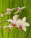 Striped orchid Royalty Free Stock Photo