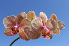 Striped orchid Royalty Free Stock Photography