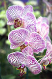 Striped Orchid. Phalaenopsis orchid stock photos