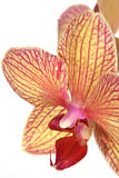 Striped orchid flower Stock Image