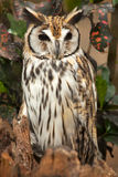 Striped owl Royalty Free Stock Photography
